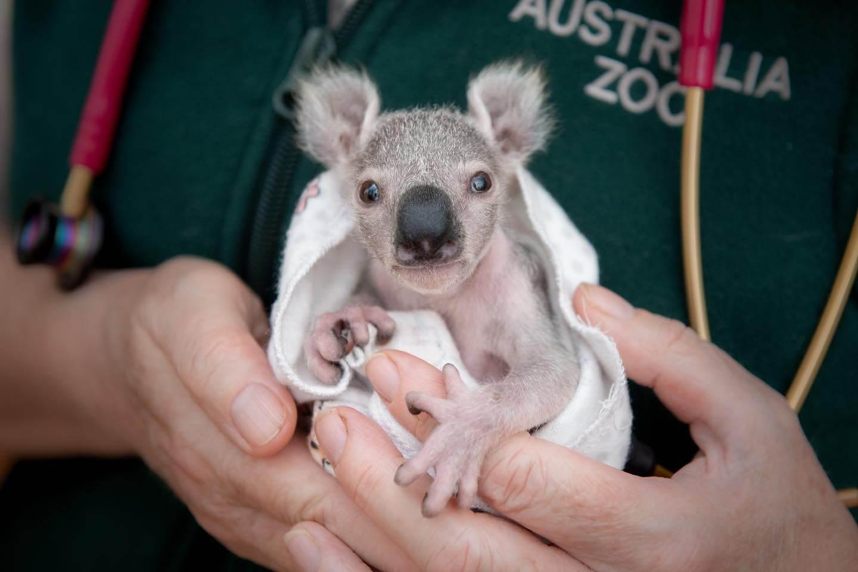 Tex Koala
